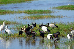 Great egret, african spoonbill and glossy and sacred ibises, Amb Royalty Free Stock Photos