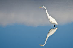 Great Egret Against a Pale Blue Background Stock Photography
