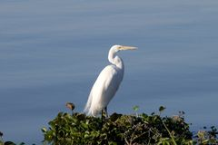 Great Egret (Ardea). Great White Egret perched on lily pads at Mexico's Lake Chapala stock image