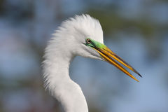 Great Egret (Ardea alba) Stock Image