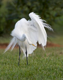 Great Egret, Ardea alba Royalty Free Stock Image