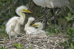 Free Great Egret, Ardea Alba Stock Image - 18433851