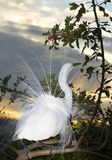 Great Egret, Ardea alba Stock Images