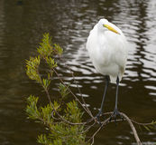 Great Egret, Ardea alba Stock Photography