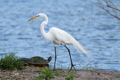 Great Egret (Ardea alba) Royalty Free Stock Photo