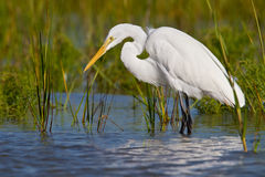 Great Egret (Ardea alba) Stock Images