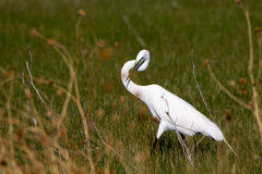 Great Egret, Ardea alba Royalty Free Stock Photography