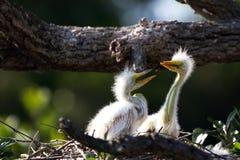 Free Great Egret, Ardea Alba Royalty Free Stock Image - 42756136
