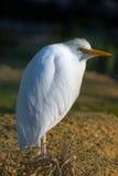 Great Egret - Ardea alba Royalty Free Stock Photo