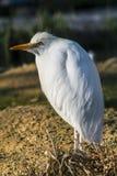 Great Egret - Ardea alba Royalty Free Stock Photos