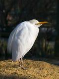 Great Egret - Ardea alba Stock Photos