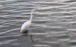 Free Great Egret (Ardea Alba) Royalty Free Stock Image - 61492646