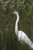 Great egret (Ardea alba) Stock Photo