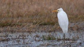 Great egret Ardea alba stock video footage