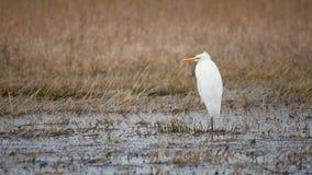 Great egret Ardea alba stock footage