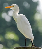 Great Egret ( Ardea alba ) Royalty Free Stock Images