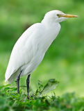 Great Egret ( Ardea alba ) Royalty Free Stock Photography