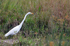 The great egret (Ardea alba) Stock Photos