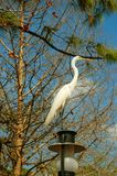 Great Egret Stock Image