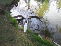 White heron on the lake shore Stock Images