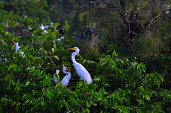 Great Egret (Ardea alba) with Babies in Nest. Royalty Free Stock Photos
