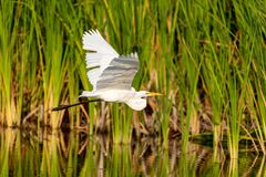 Great egret Ardea alba bird flies. Over a wetland pond in Naples, Florida royalty free stock images