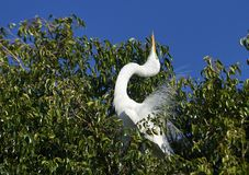 Great Egret Ardea alba in breeding plumage. Courtship dispaly while perched in a tree at edge of Lake Chapala, Jocotopec, Jalisco, Mexico Royalty Free Stock Images