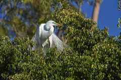 Great Egret Ardea alba in breeding plumage. Perched in a tree at edge of Lake Chapala, Jocotopec, Jalisco, Mexico Stock Image