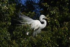 Great Egret Ardea alba in breeding plumage. Perched in a tree at edge of Lake Chapala, Jocotopec, Jalisco, Mexico Stock Photo