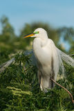 Great egret Ardea alba in breeding plumage. Royalty Free Stock Photos
