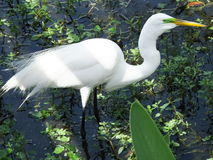 Great Egret (Ardea alba) Royalty Free Stock Images
