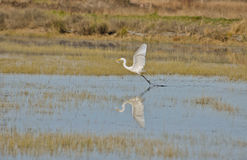 Great Egret, Ardea alba Catches a Fish Royalty Free Stock Photos