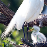 Great Egret, Ardea alba Royalty Free Stock Images