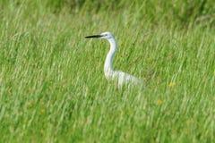 Great Egret Ardea alba Common Egret. Wildlife stock photography