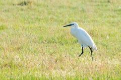 Great Egret Ardea alba Common Egret. Wildlife royalty free stock image