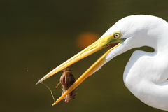 Great Egret (Ardea alba) Eating a Fish Royalty Free Stock Photo