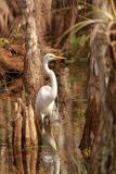 Great Egret (Ardea alba) in Everglades National Park Stock Photo