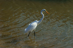 Great Egret Royalty Free Stock Image