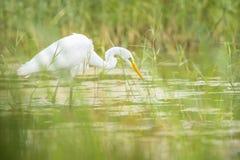 Great egret Ardea alba fishing Royalty Free Stock Photo