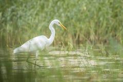 Great egret Ardea alba fishing Royalty Free Stock Photos