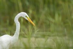 Great egret Ardea alba fishing Royalty Free Stock Photography