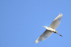 Great Egret (Ardea alba) in flight royalty free stock image
