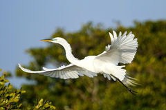 Great Egret (Ardea alba) in flight Royalty Free Stock Image