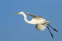 Great Egret (Ardea alba) in flight Stock Image