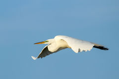 Great Egret Ardea alba in flight Stock Photography