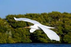 Great Egret (Ardea alba) in flight Royalty Free Stock Images