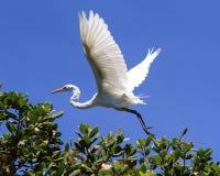 Great Egret (Ardea alba) flying above cashew tree Stock Photo