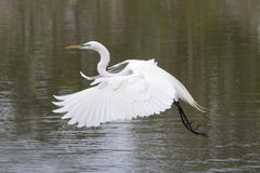 Great Egret (Ardea alba) Royalty Free Stock Photography
