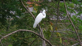Great Egret (Ardea alba) stock video
