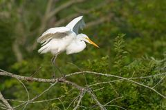 Great Egret - Ardea alba. Great Egret perched on a branch stretching its wings and getting ready to fly. Also known as the Common Egret, Large Egret, and Great stock image